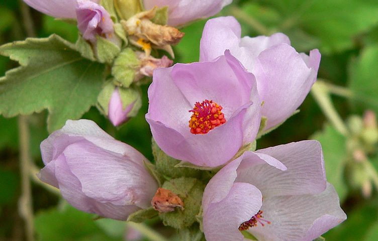 Bushmallow specimens available at our annual plant sale.