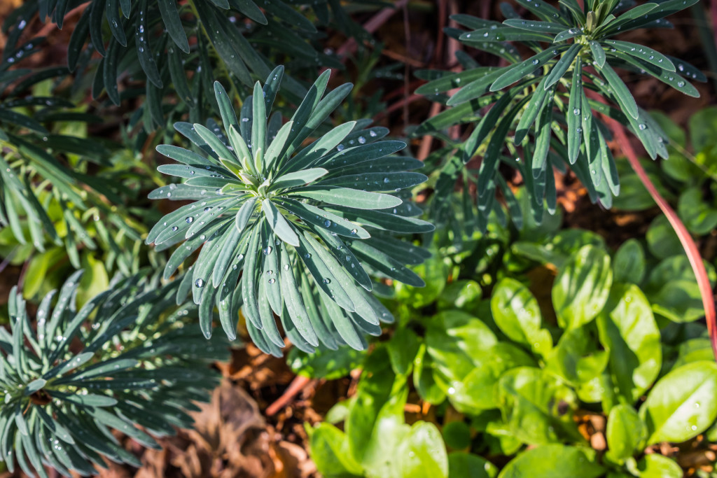 A euphorbia soaks up some precious water droplets in the EBMUD water conservation garden.