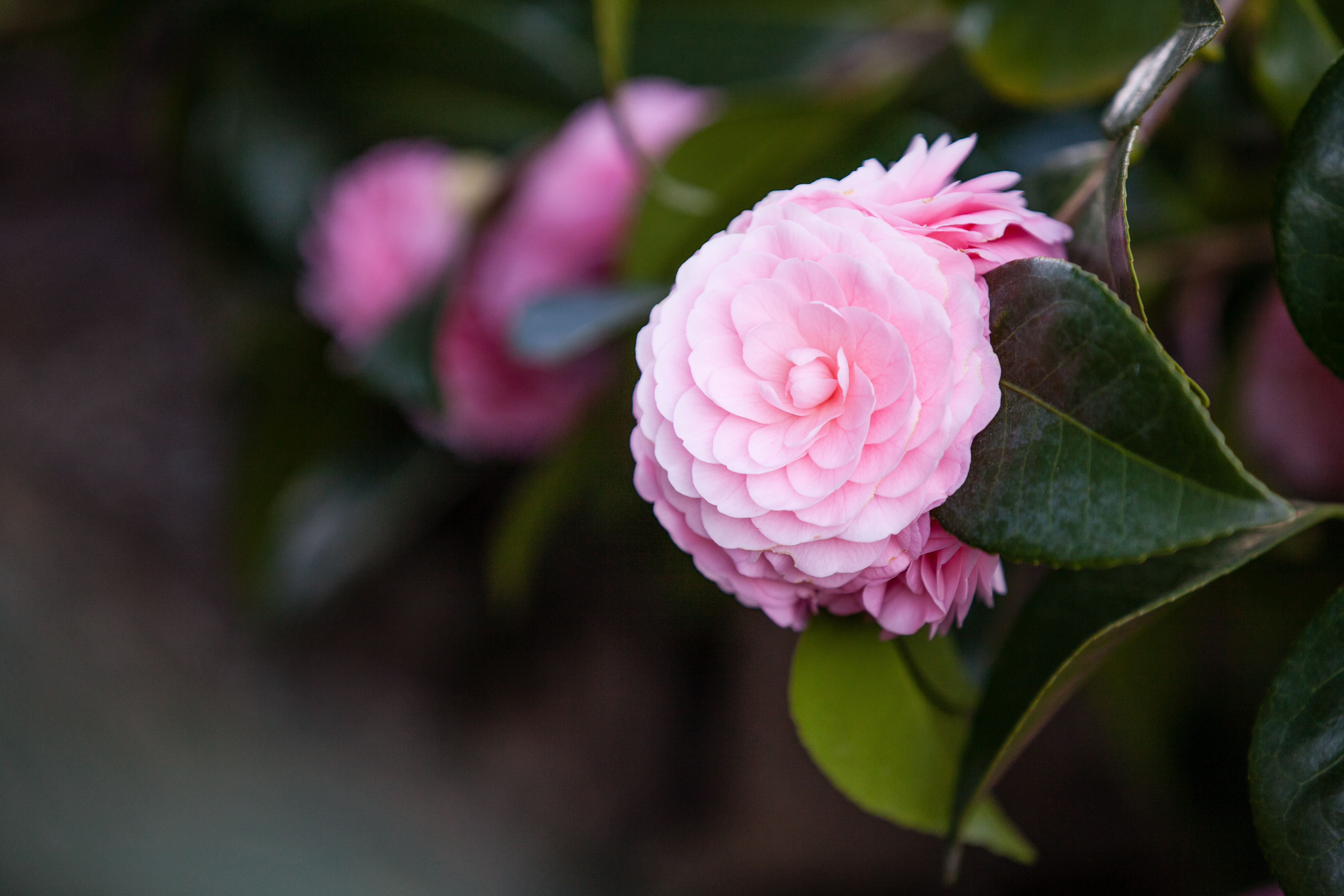 Camellia blossoming in the Shade Garden