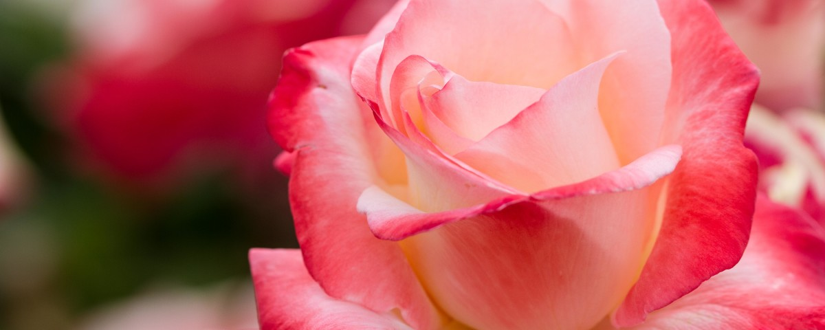 A perfect pink rose in our Cowden Rose Garden.