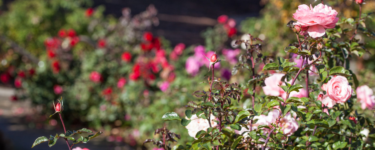 Roses in bloom all through the fall.